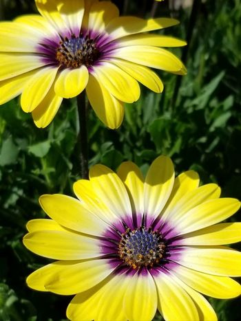 Flower Yellow Petal Fragility Freshness Flower Head Plant Purple Beauty In Nature Growth Nature Pollen Day Focus On Foreground No People Outdoors Close-up African Daisies Pennsylvania Paint The Town Yellow Daisies Perspectives On Nature