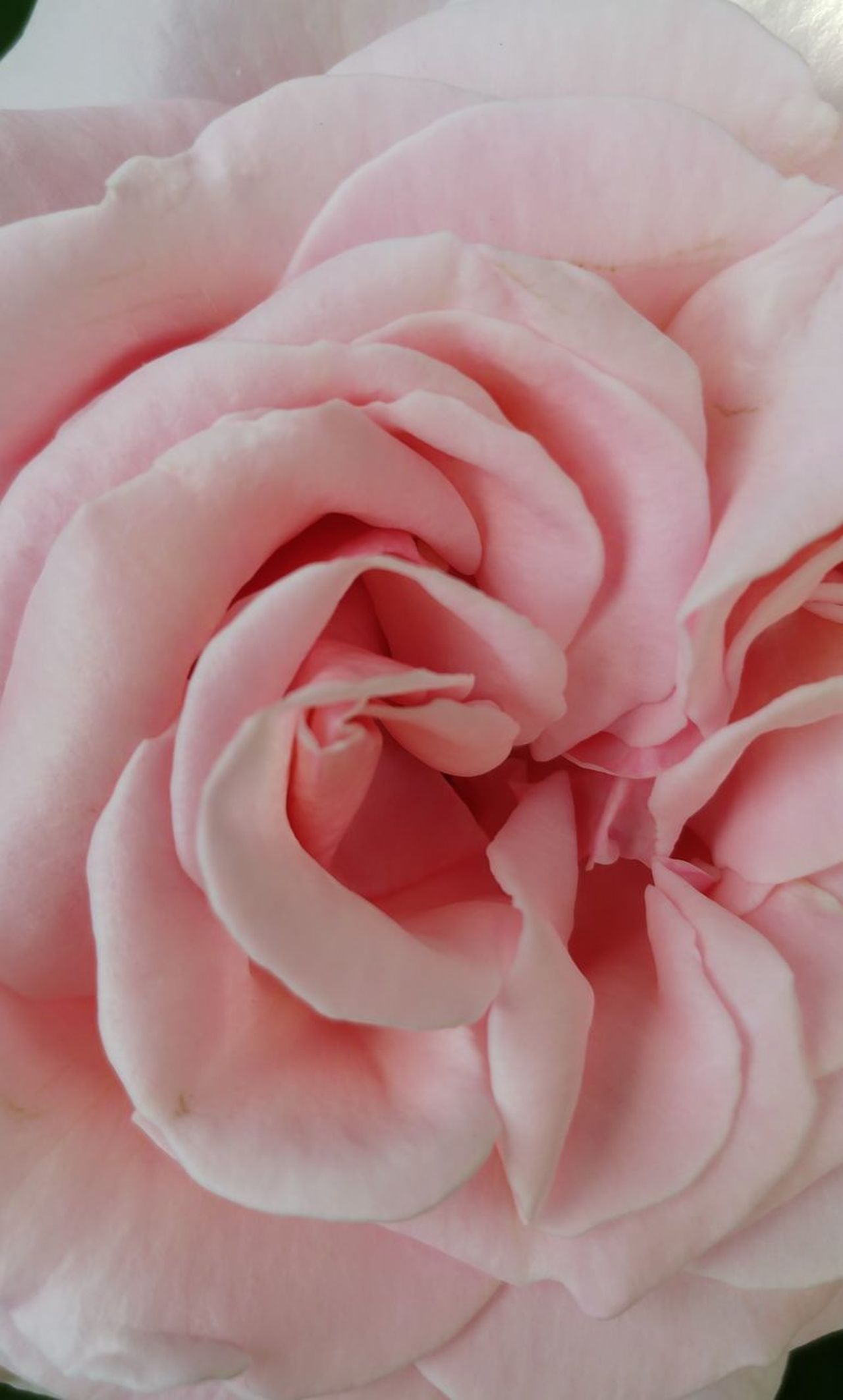 Pink Color Flower Petal Rose - Flower Nature Backgrounds Full Frame Plant Abstract Fragility Flower Head Textured  Beauty In Nature Peony  No People Pastel Colored Rose Petals Close-up Freshness Day