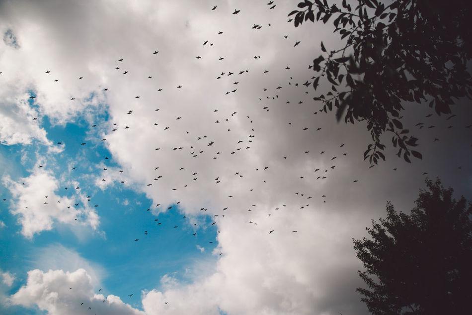Animal Themes Autumn Bird Cloud - Sky Day Flock Of Birds Flock Of Birds Flying Large Group Of Animals Nature No People Outdoors Sky Tree