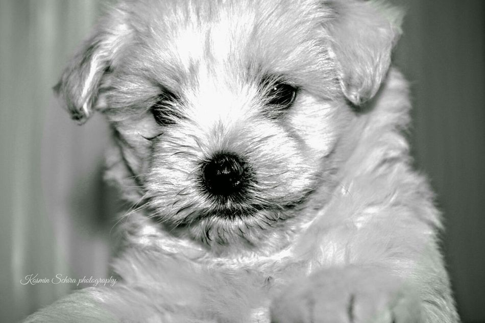 Hanging Out Taking Photos Check This Out Relaxing Cheese! Hi! Enjoying Life White Wall Hello World High Angle View Animal Head  Bischon Frise Hi! Glitch White Album WhiteCollection Puppy Love Puppy Face Puppies Puppy❤ Pupies Puppy Eyes Puppies
