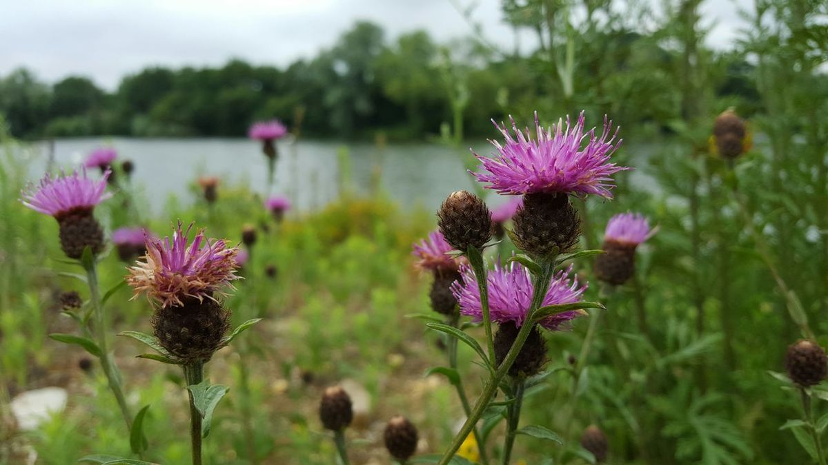 This'll Thistle Wildflowers Nature