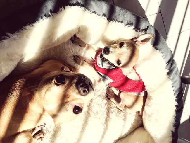 Sunbathing Chihuahuas<3 Chihuahua Puppies Sunday Lazy Morning Love My Babies