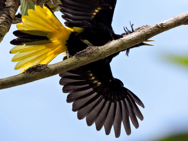 Animals Beauty In Nature Bird Black Bird Blue Sky Feathers Focus On Foreground Magazhu Nature No People Outdoors Tropical Tropical Birds Wildlife Wings Yelapa Yellow Bird Yellow Color Showcase July