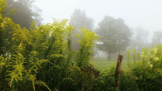 Fog Foggy Weather Tranquil Scene Tranquility Beauty In Nature Nature Non-urban Scene Scenics Field Rural Scene Sunbeam Day Ethereal Flowers Goldenrod Fencerow Fence Row Fencepost Morning Foggy Morning End Of Summer Autumn Fall Seasons