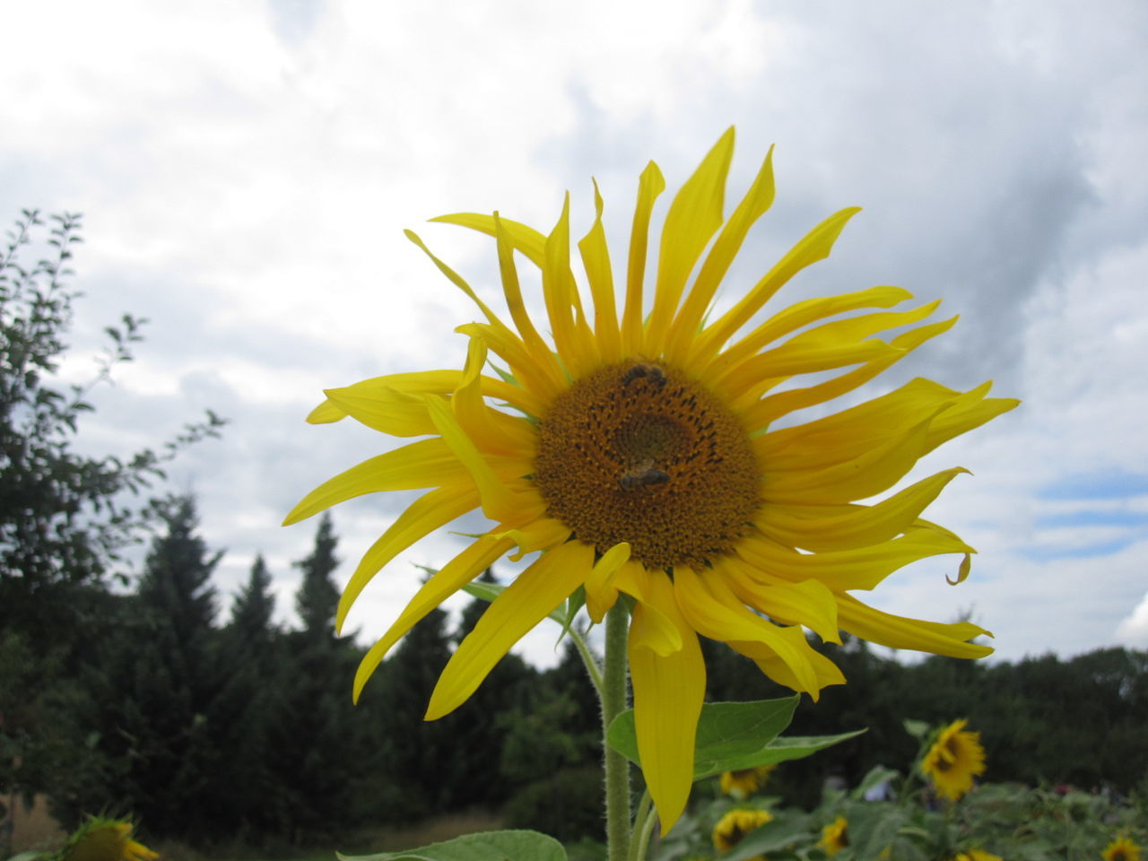 flower, yellow, petal, fragility, flower head, freshness, beauty in nature, nature, growth, pollen, plant, outdoors, close-up, no people, day, blooming, sunflower, cloud - sky, sky