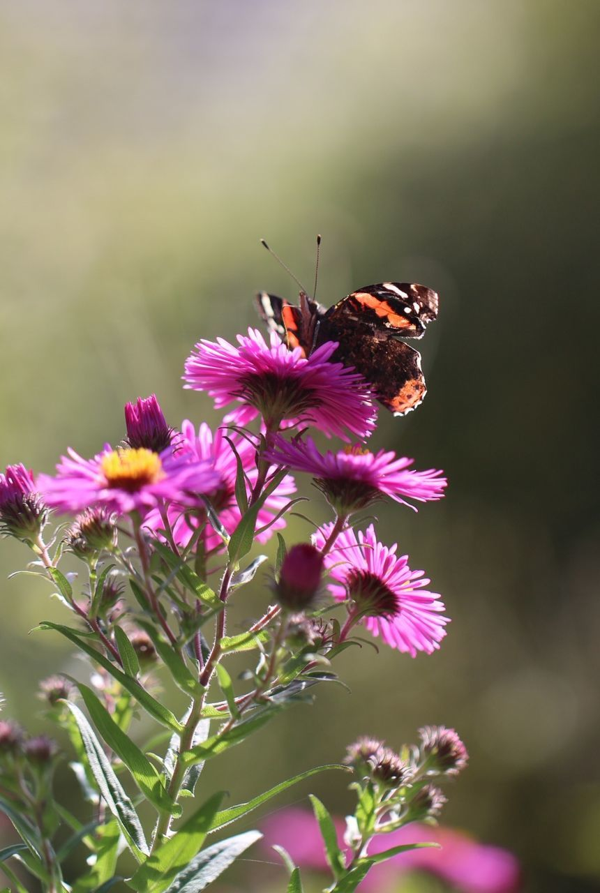 insect, animals in the wild, one animal, flower, animal themes, nature, beauty in nature, fragility, pollination, animal wildlife, growth, freshness, no people, symbiotic relationship, plant, butterfly - insect, petal, outdoors, day, pink color, bee, close-up, perching, flower head