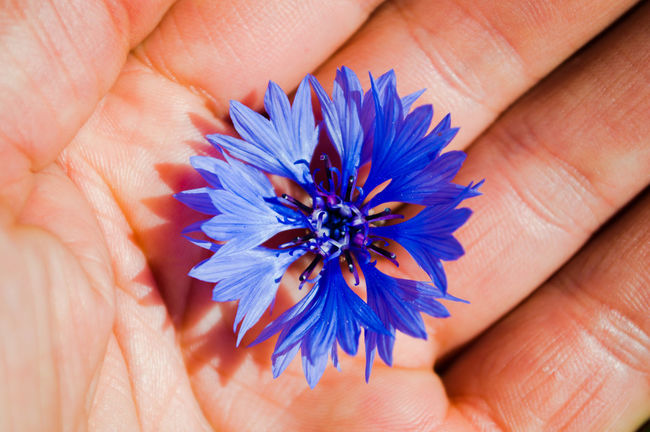 nature in my hand Bachelor Buttons Blessed  Delicate Beauty Flower Flower In My Hand Flowers Purple Single Flower