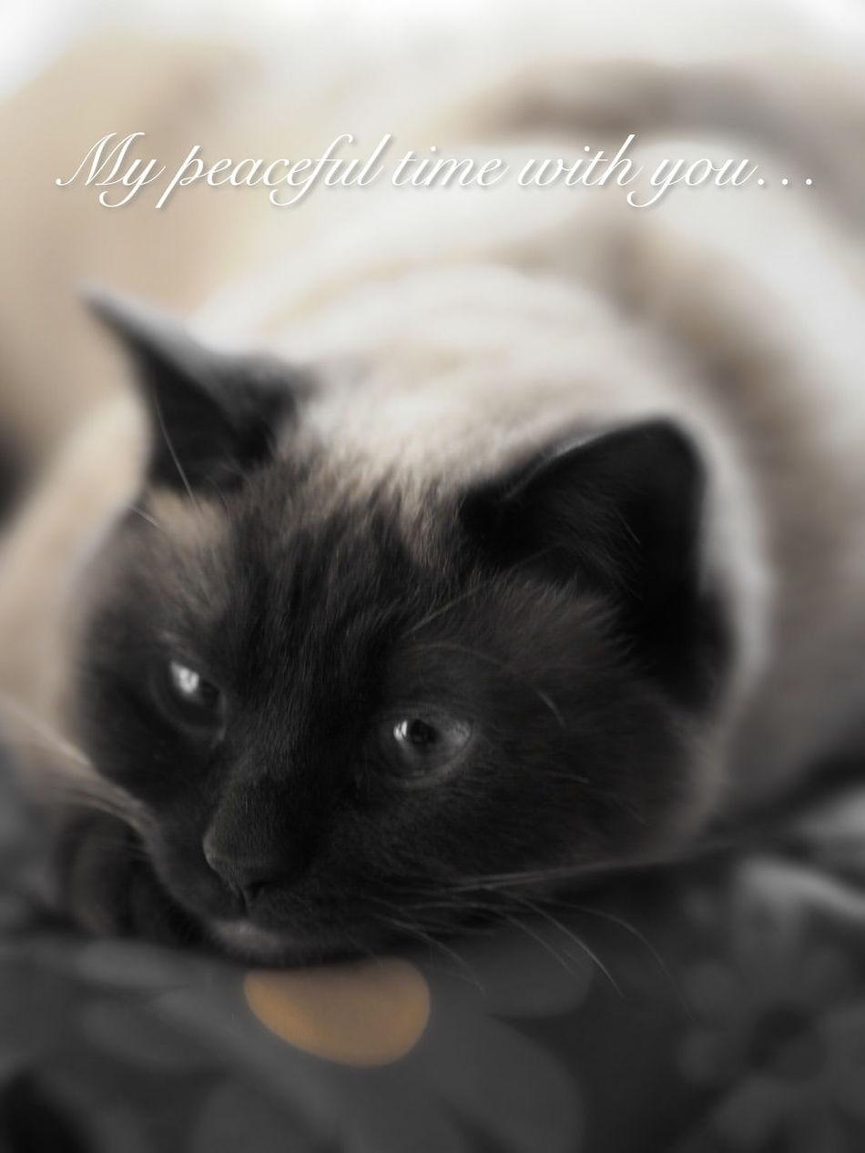 Relax time… Cat Cat Lovers Shamese
