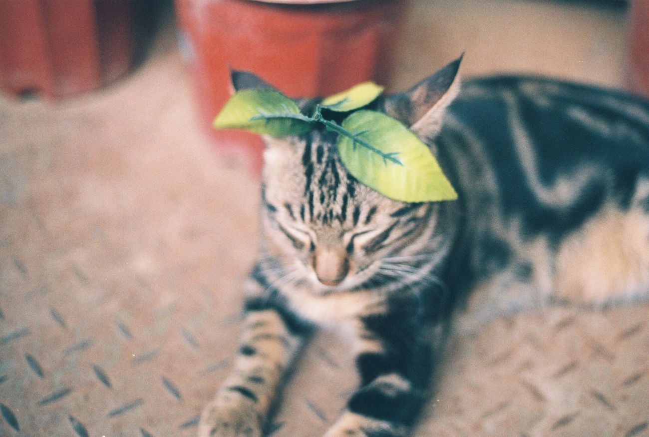 Domestic Cat Pets Day Green Canon AE-1 Flimcamera Chemistry Biscuit