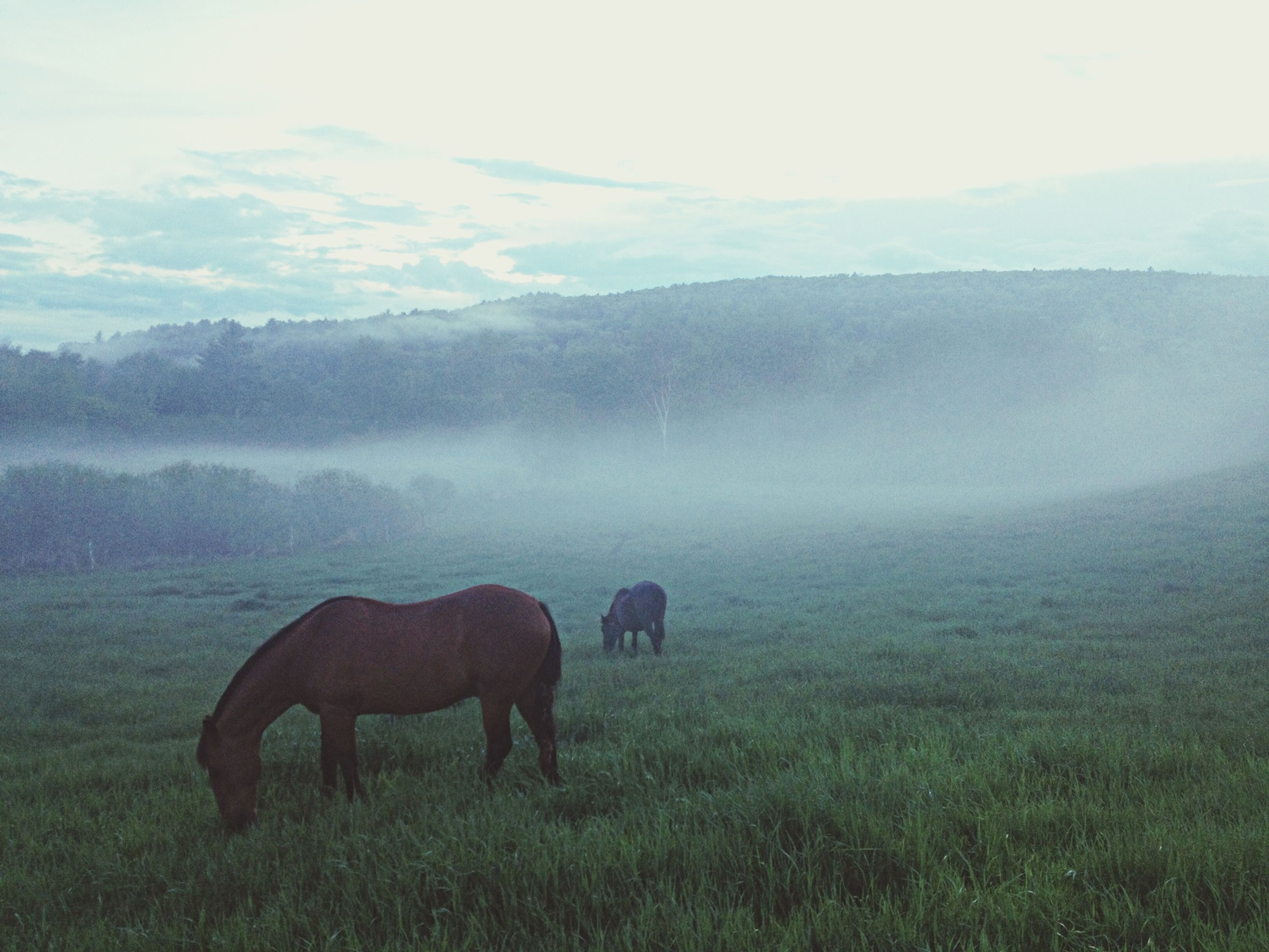 animal themes, mammal, domestic animals, grass, field, horse, livestock, grazing, landscape, one animal, grassy, herbivorous, standing, nature, fog, tranquil scene, two animals, tranquility, beauty in nature, cow