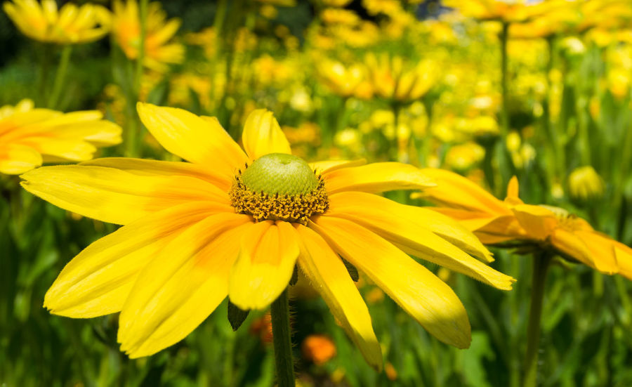 Close-up of a yellow Flower Head in Summer. Golden Daisy Bush Asteraceae Beauty Blooming Close-up Closeup Easy To Grow Euryops Chrysanthemoides Flower Head Flowering Flowers Freshness Garden Golden Daisy Bush Green Growing Growth Meadow Nature Plants Season  Summer Yellow