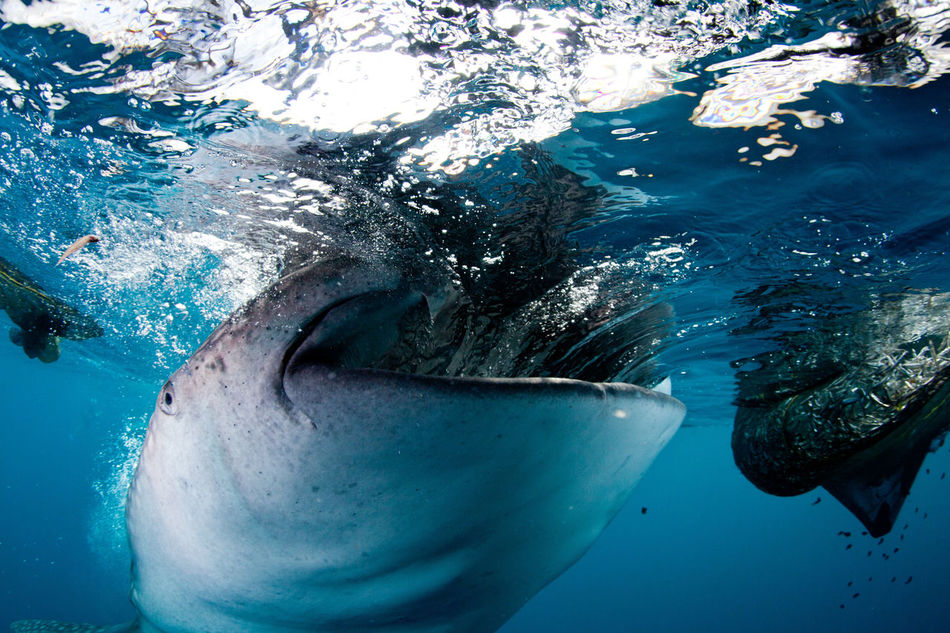 Beautiful stock photos of underwater,  Animal Wildlife,  Animals In The Wild,  Blue,  Close-Up