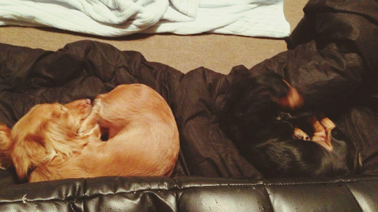 犬 ダックス Dacshund Sleep