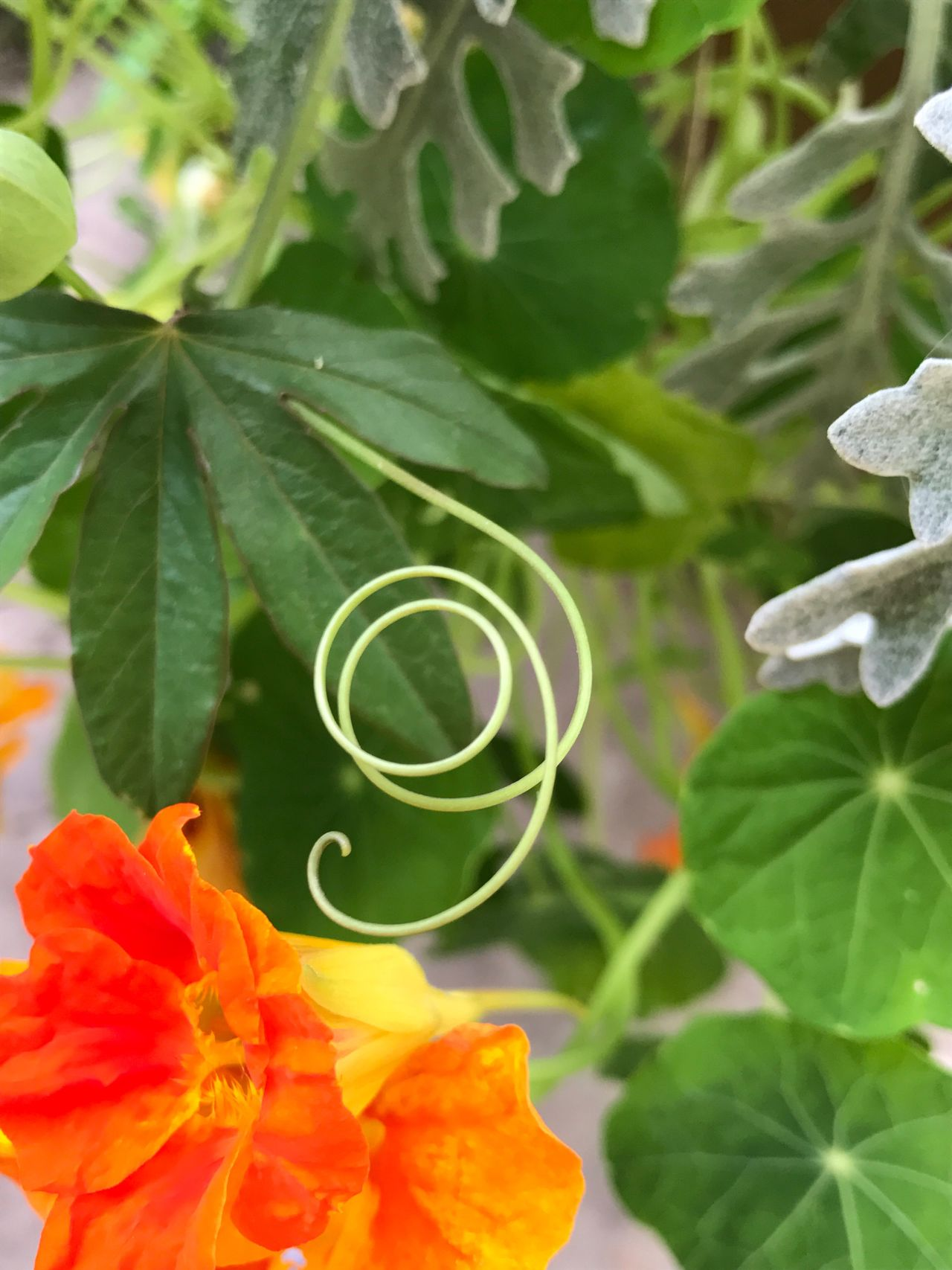 Whirl Dusty Miller Green Color Tendril Blooming Growth Leaf Nine In Nature Plant Flower Green Color Close-up Fragility Orange Nasturtium 9 Swirl Swirly Beauty In Nature Freshness Natural Nine Check This Out Flower Head Number 9 Number Nine