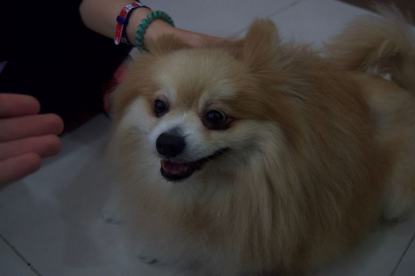 Animal Themes Close-up Day Dog Domestic Animals Human Hand Indoors  Lifestyles Mammal One Animal One Person Pets Pomeranian Portrait Real People Touching