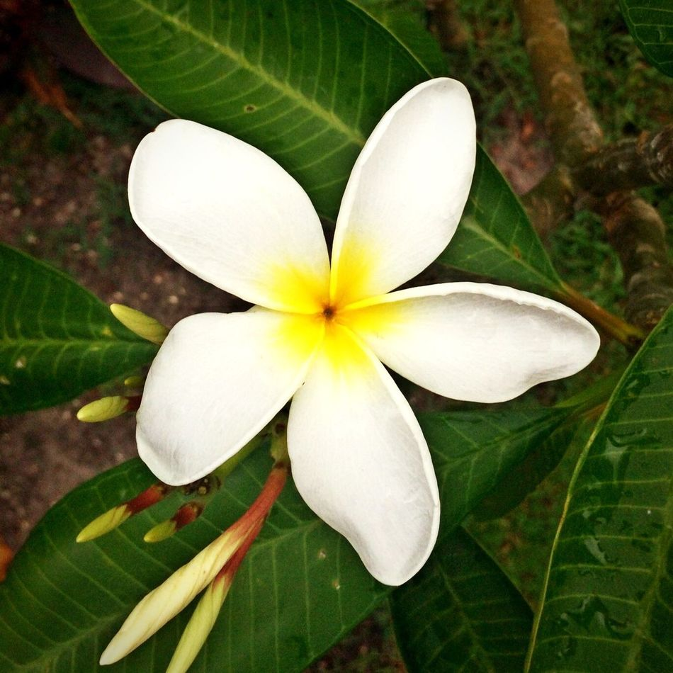 Frangipani Check This Out Hello World Taking Photos Enjoying Life The Great Outdoors With Adobe Tropical White Blooming Blossom Plumeria Frangipani Flora Eyemphotography Nature Enjoying The Sights Enjoying Nature Beauty In Nature