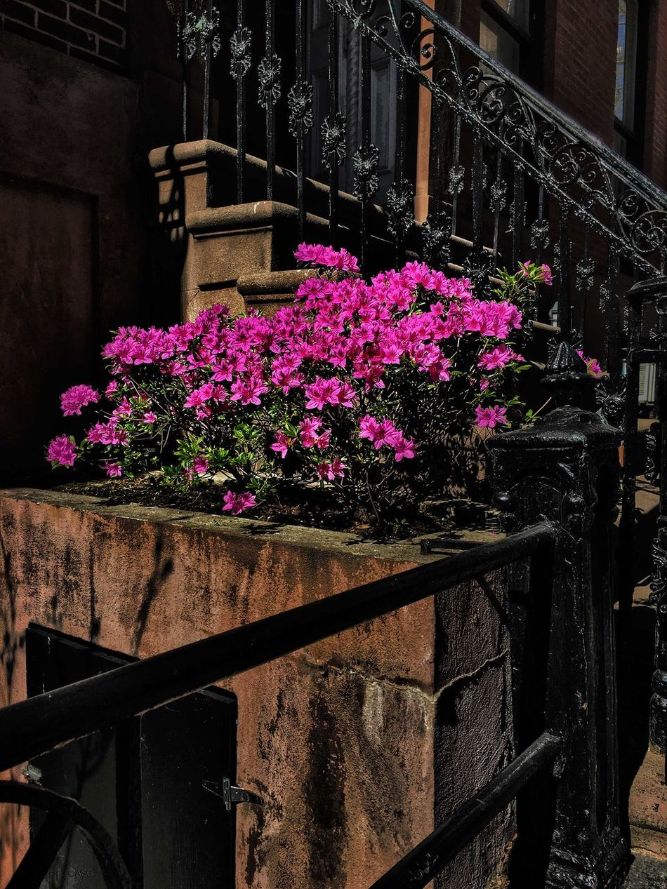 Azalea - 4/17/16 Brownstone Building Creative Selections & Adjustments W/ Ps CC2016 EyeEm StreetPhotography, NYC IPhone Edits W/ Snapseed IPhoneography 6s Iron Railing Showcase April Close Up Street Photography Showing Imperfiction