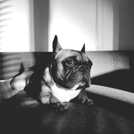 Charlie Frenchie Frenchbulldog Dog Animal