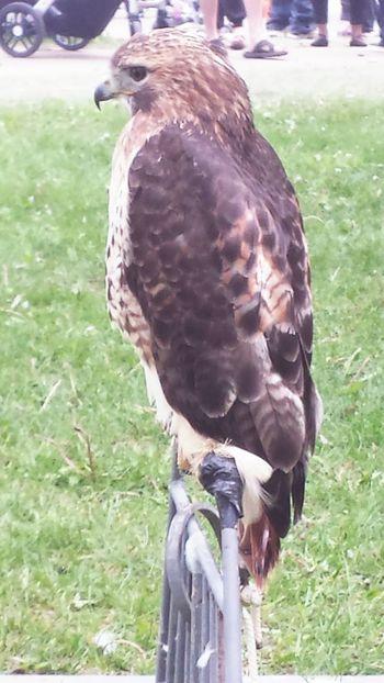 Bird Of Prey Fierce Hawk Eye