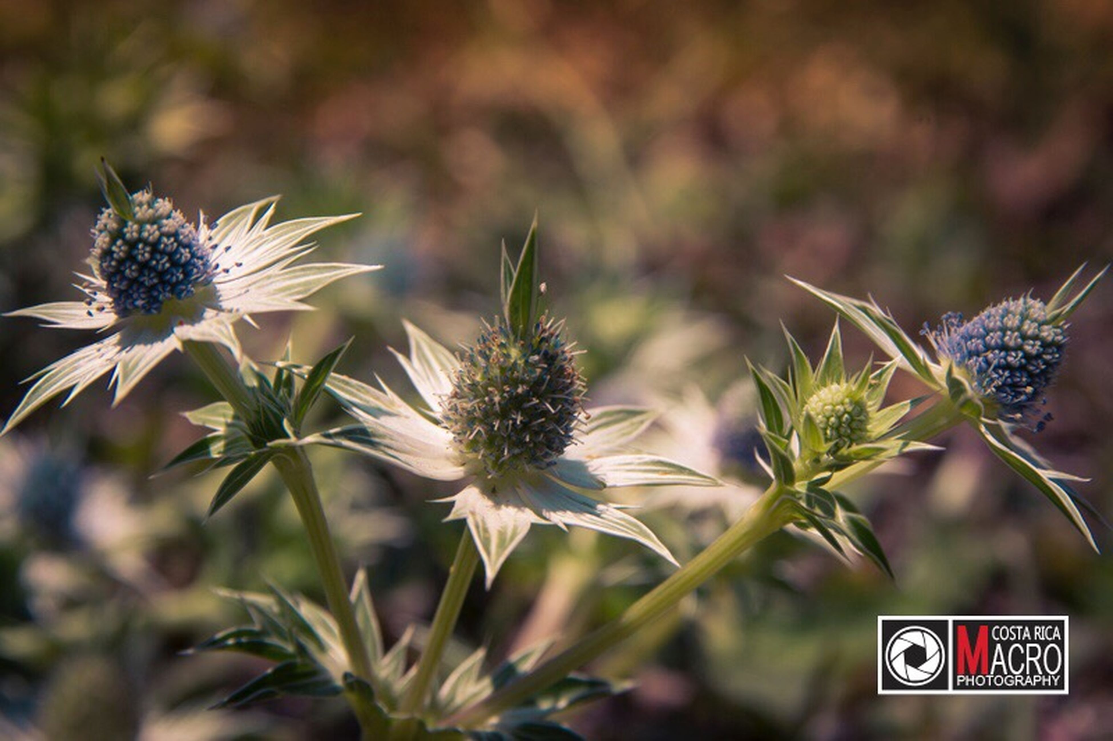 flower, focus on foreground, plant, close-up, no people, outdoors, nature, growth, fragility, freshness, thistle, day, beauty in nature, flower head