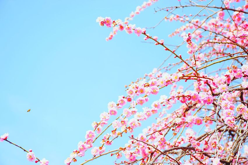 cherryblossoms and bee Spring Bee Cherry Blossoms Pink Sunny Lovely EyeEm Nature Lover Capture The Moment Showcase March Nikon Japan