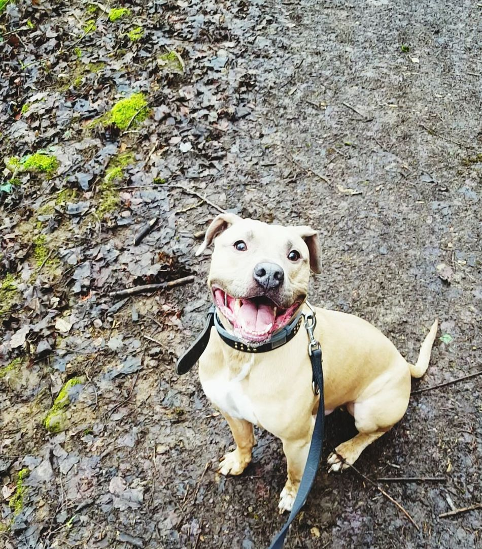 Happy Happyface Happiness Is.... Sitting Pretty Buddy Human Dog Into The Woods Amstaff Portrait Smiling Dog Smile Life Is Good Dogs Of EyeEm ImSoHappy Sharing A Moment Taking A Walk