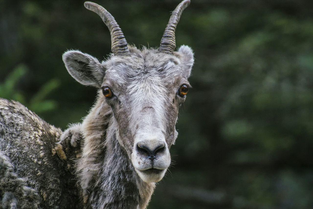 Beautiful stock photos of goat, Animal Body Part, Animal Head, Animal Themes, Animal Wildlife