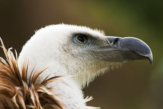 griffon vulture in close up portrait on a trunk Animal Animal Body Part Animal Head  Beak Beauty In Nature Bird Close-up Cute,sexy,gayboys Day Eyes Feather  Focus On Foreground Fulvus Nature No People Outdoors Plumage Portrait Predatory Scavenger Ugly White