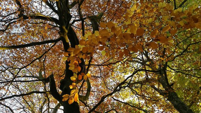 A trail of leaves dangling down. Yellow Yellow Leaves Orange Autumn Autumn Colors Autumn Leaves Autumn Collection Autumnbeauty Landscape Landscapes Trees Treescollection Leaves Fall Leaves Green Lookingup Branches Tree Branches Branch Leaf Trailing Nature Naturelovers Natural Nature Photography