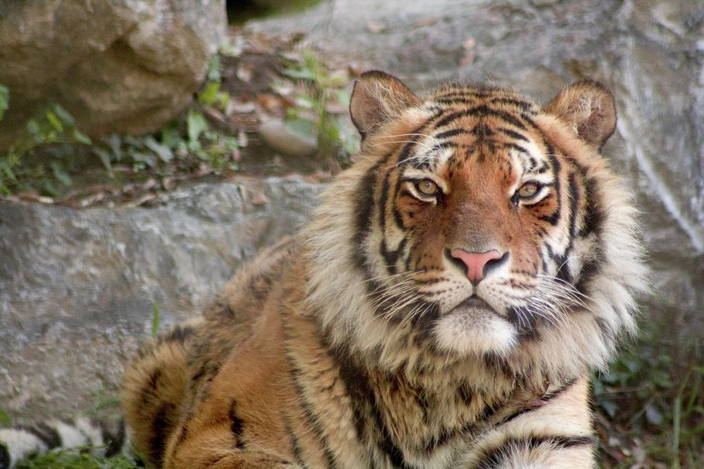 Tiger One Animal Nature Qeen Day First Eyeem Photo