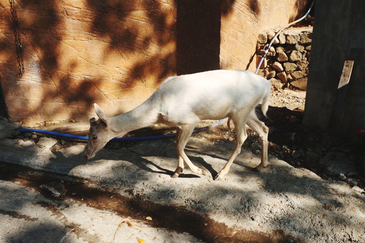 Oh my deer. Animal Wildlife EyeEmNewHere Travel Photography TravelPhilippines First Eyeem Photo Deer Moments The Great Outdoors - 2017 EyeEm Awards