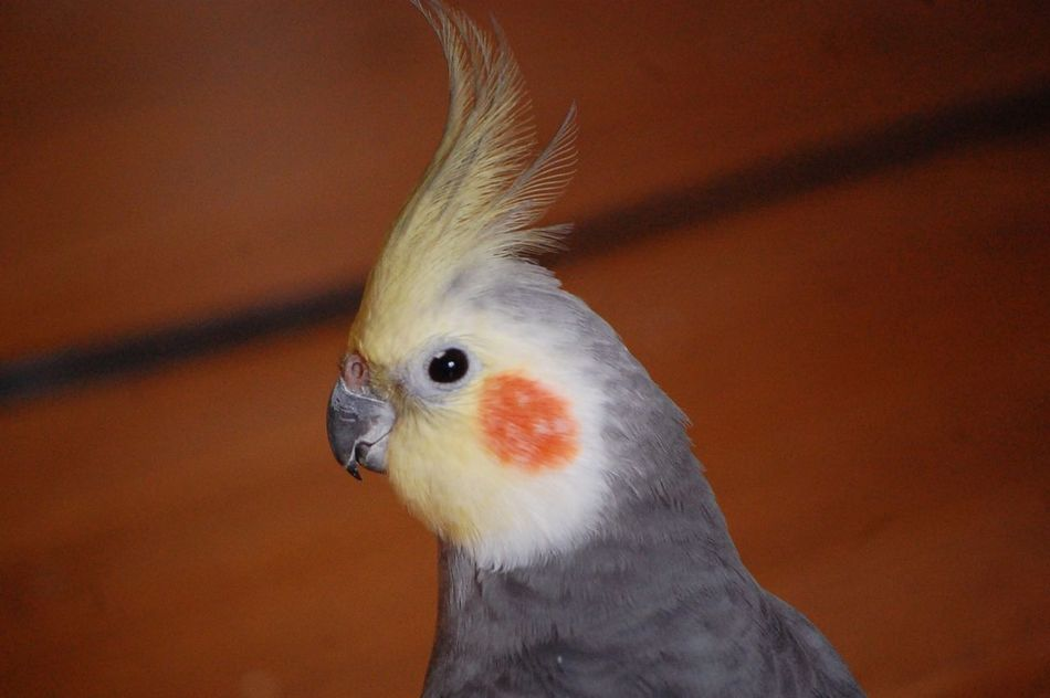 14years old 14years Cockatiel One Animal Animal Themes Bird Animals In The Wild Close-up Singer  My Friend