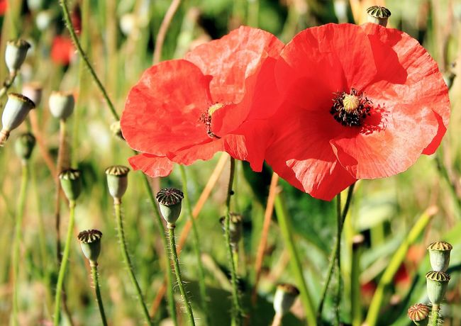 poppies in flower Beginnings Blooming Botany Close-up Depth Of Field Field Flower Flower Head Focus On Foreground Fragility Freshness Growth Nature New Life No People Petal Poppies  Poppies Blooming Poppies Field Poppy Poppy Flowers Red Selective Focus Springtime Stem