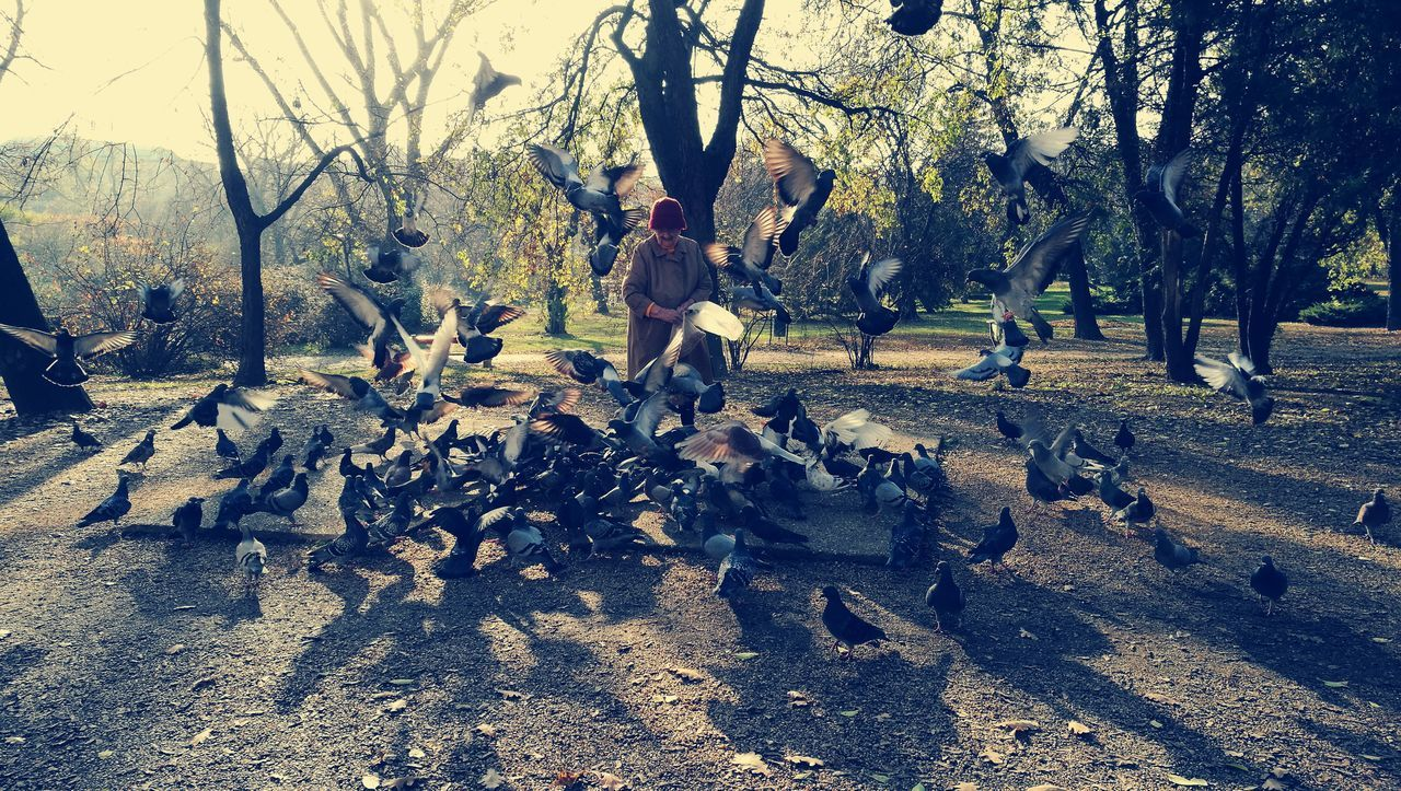 Birds Birds In Flight Birdy Pigeons Pigeonslife Pigeons In Flight Old Lady Feeding Animals Feeding Birds Look And See  Budapest HuaweiP9Lifestyles Huaweiphotography Nature Love The Nature Autumn Autumn Trees Autumnbeauty