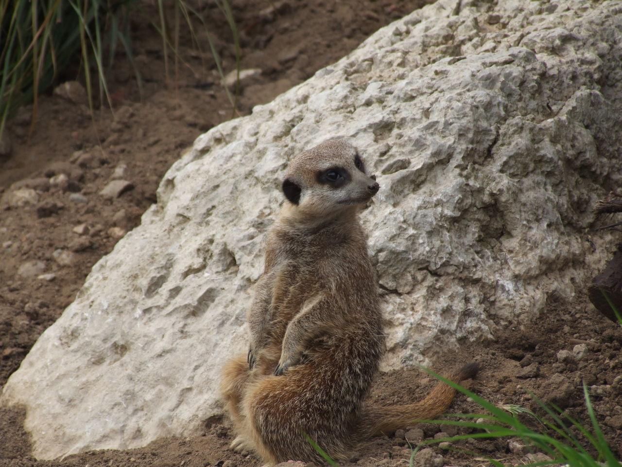 Animal Themes Animal Wildlife Animals In The Wild Day EyeEm Best Shots Mammal Meerkat Nature No People One Animal Outdoors