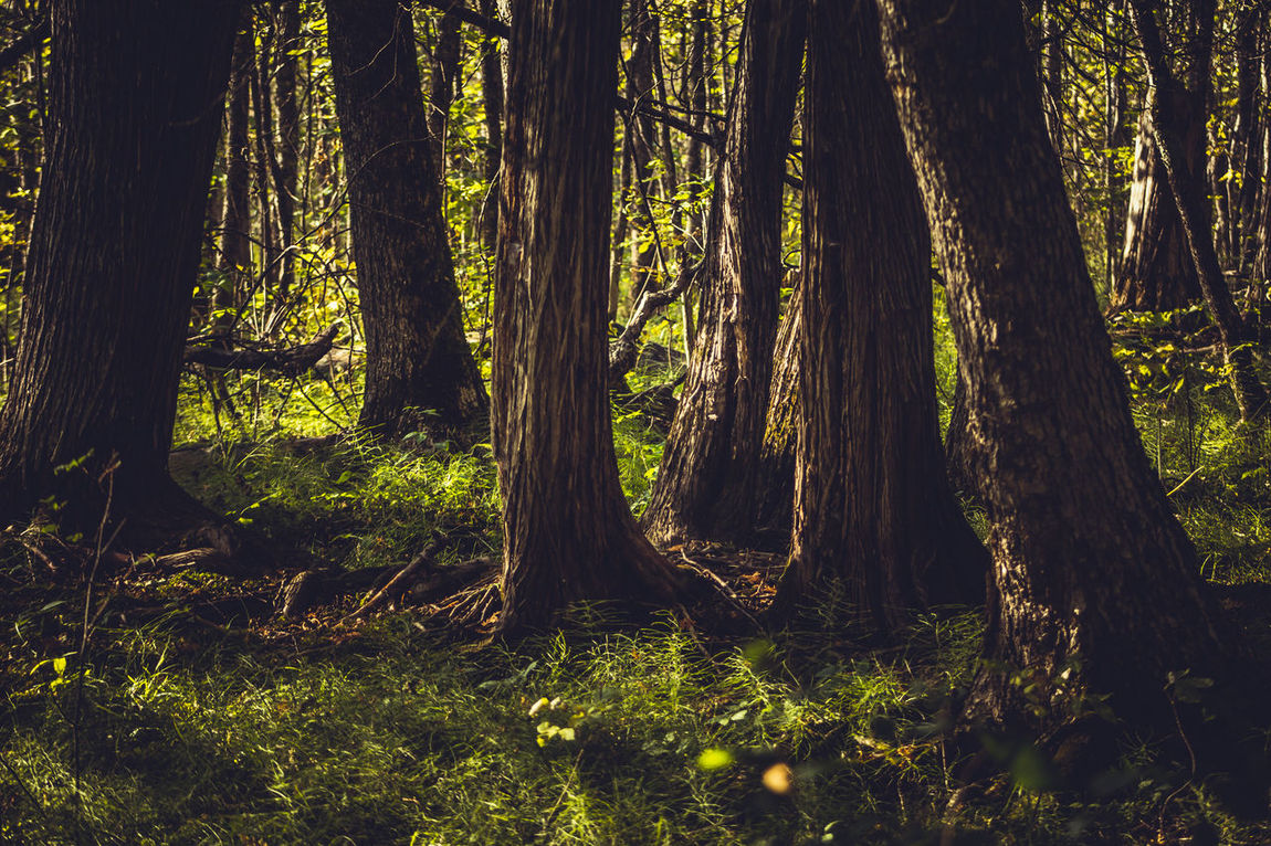 Into The Deep Abundance Beauty In Nature Deep Woods Forest Green Color Growth Landscape Light And Shadow Mood Moody Nature Ontario, Canada Outdoors Scenics Showcase September Solitude Sun Through The Trees The Week On EyeEm Tranquil Scene Tranquility Tree Tree Trunk WoodLand WoodLand Woods TakeoverContrast