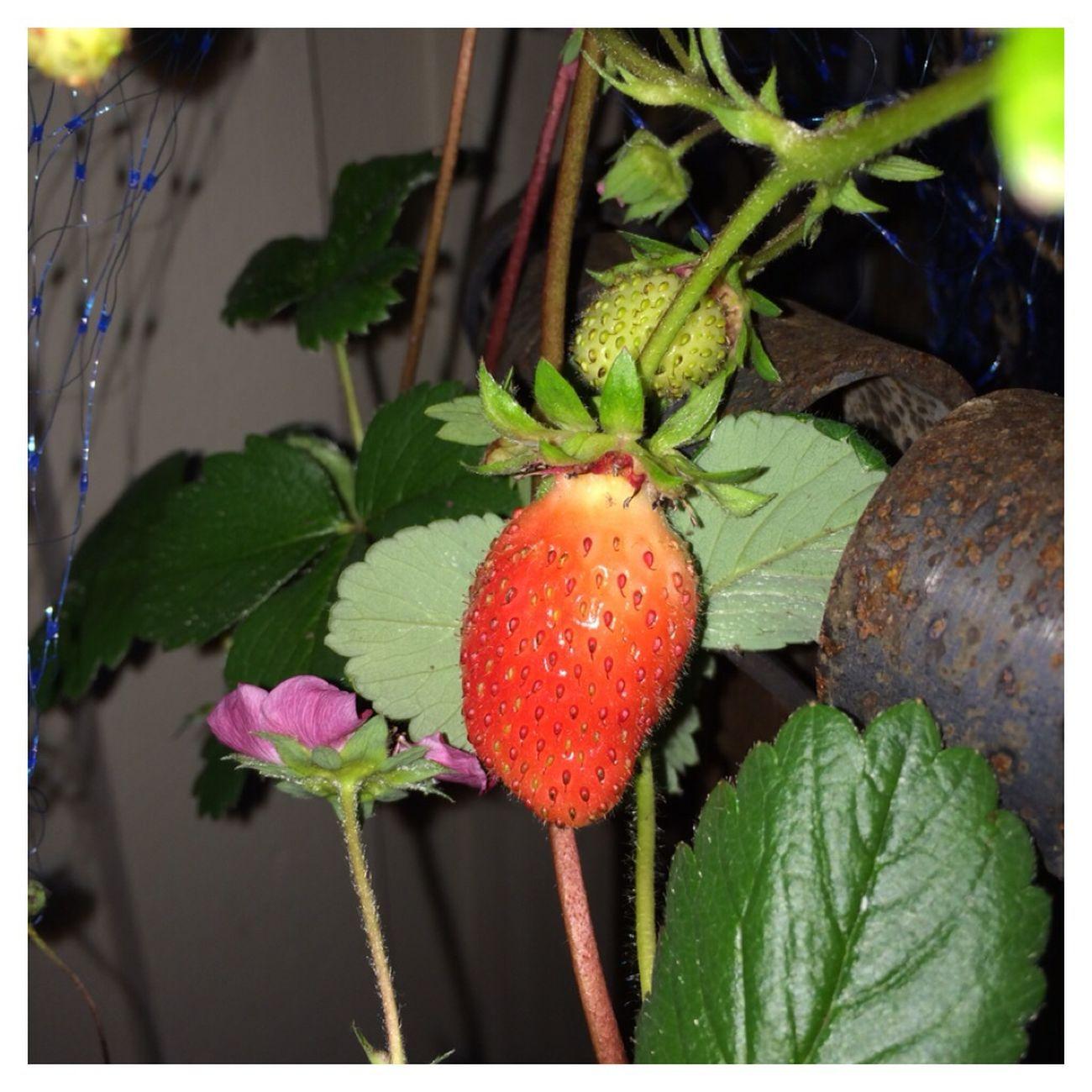Strawberry Urban Gardening Summer Ecologic