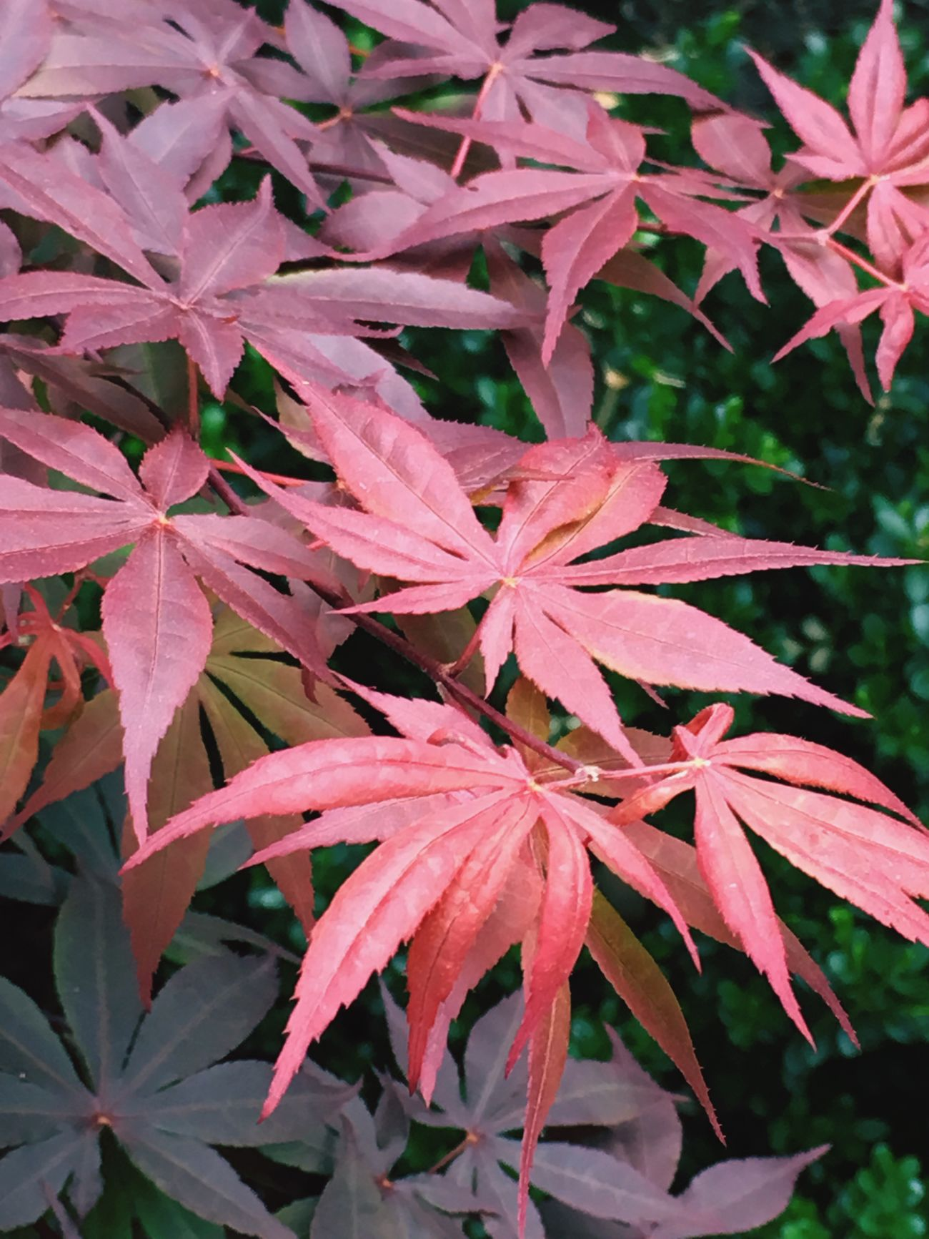 Plant Close-up red Growth Leaf Beauty In Nature Nature Outdoors Lovely serene tranquility
