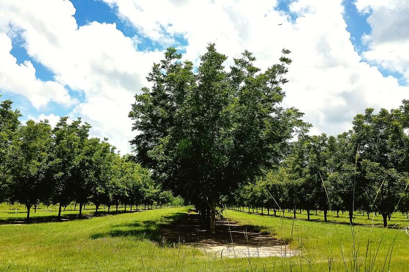 Cloud - Sky Tree Sky Outdoors Nature Day No People Growth Beauty In Nature Freshness Pecan Pecan Trees Farm Agriculture Scenesofthesouth