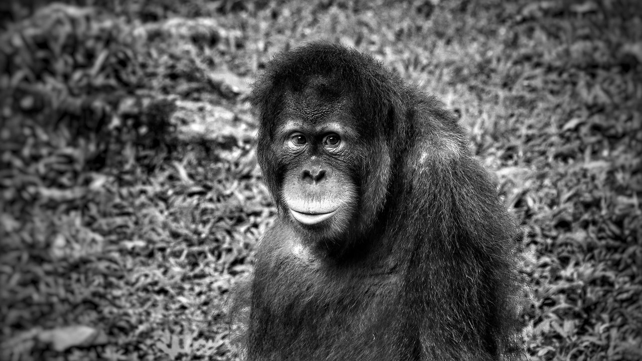 One Animal Mammal Animal Themes Animals In The Wild Portrait No People Outdoors Animal Wildlife Day Nature Close-up Sumatran Orangutan Monkey Animals In The Wild Ape Orangutan Primate Blackandwhite Black And White Black Black & White Blackandwhite Photography Black And White Photography Live For The Story
