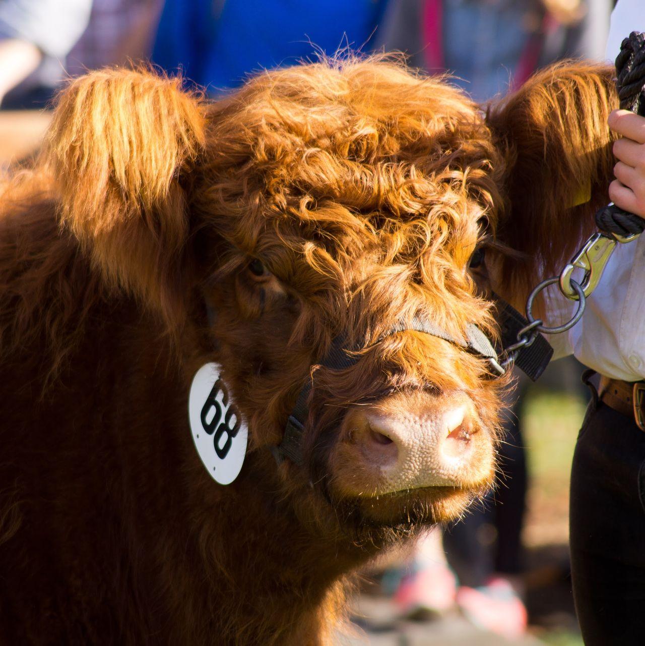 Hochheim Hochheimer Markt Cow Galloway Rind Rinder Rindermarkt Viehmarkt