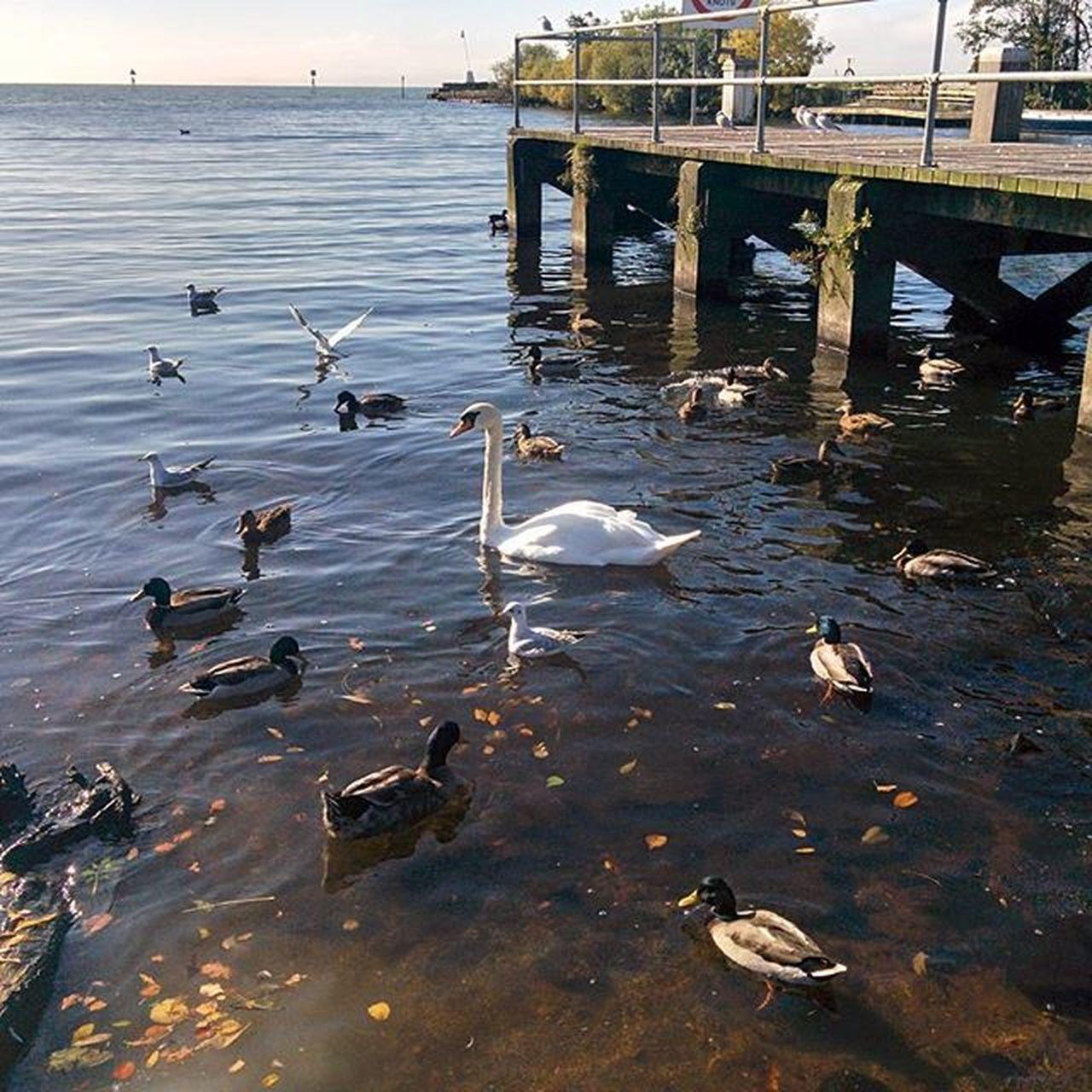Lough Neagh Antrim Ireland Swan Duck Pier