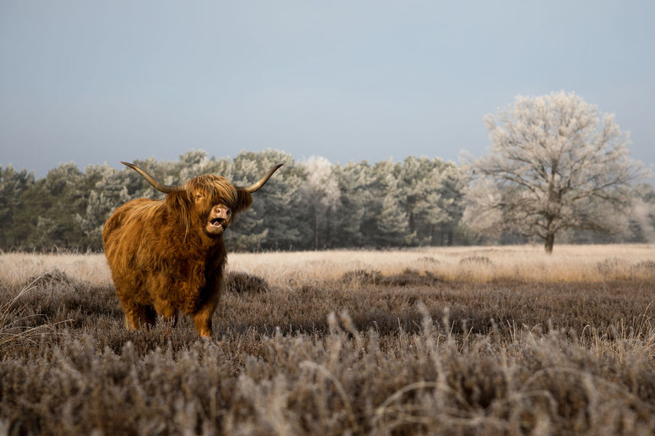Scottish Highlanders in a winter landscape Field Herbivorous Livestock Beauty Of Nature From My Point Of View Cattle Animal Themes Winter Trees Winter Wonderland Scottish Highland Cattle Beauty In Nature Beautiful Nature Winterwonderland Winterscapes Winter Landscape Winter Scottish Highlander Winter_collection Landscape Winter 2017 Highland Cattle Heather Wintertime Nature Tranquility