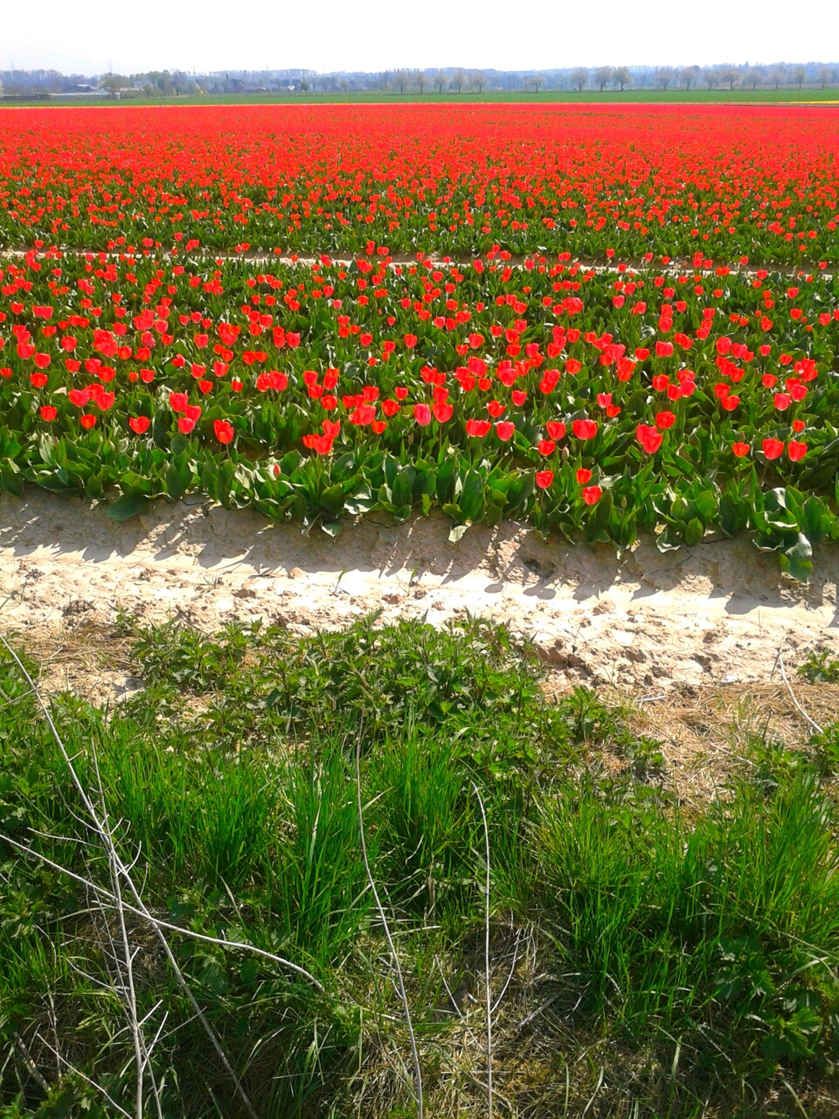 flower, field, freshness, growth, beauty in nature, nature, red, landscape, fragility, plant, abundance, tranquil scene, rural scene, tranquility, grass, flowerbed, blooming, scenics, agriculture, poppy