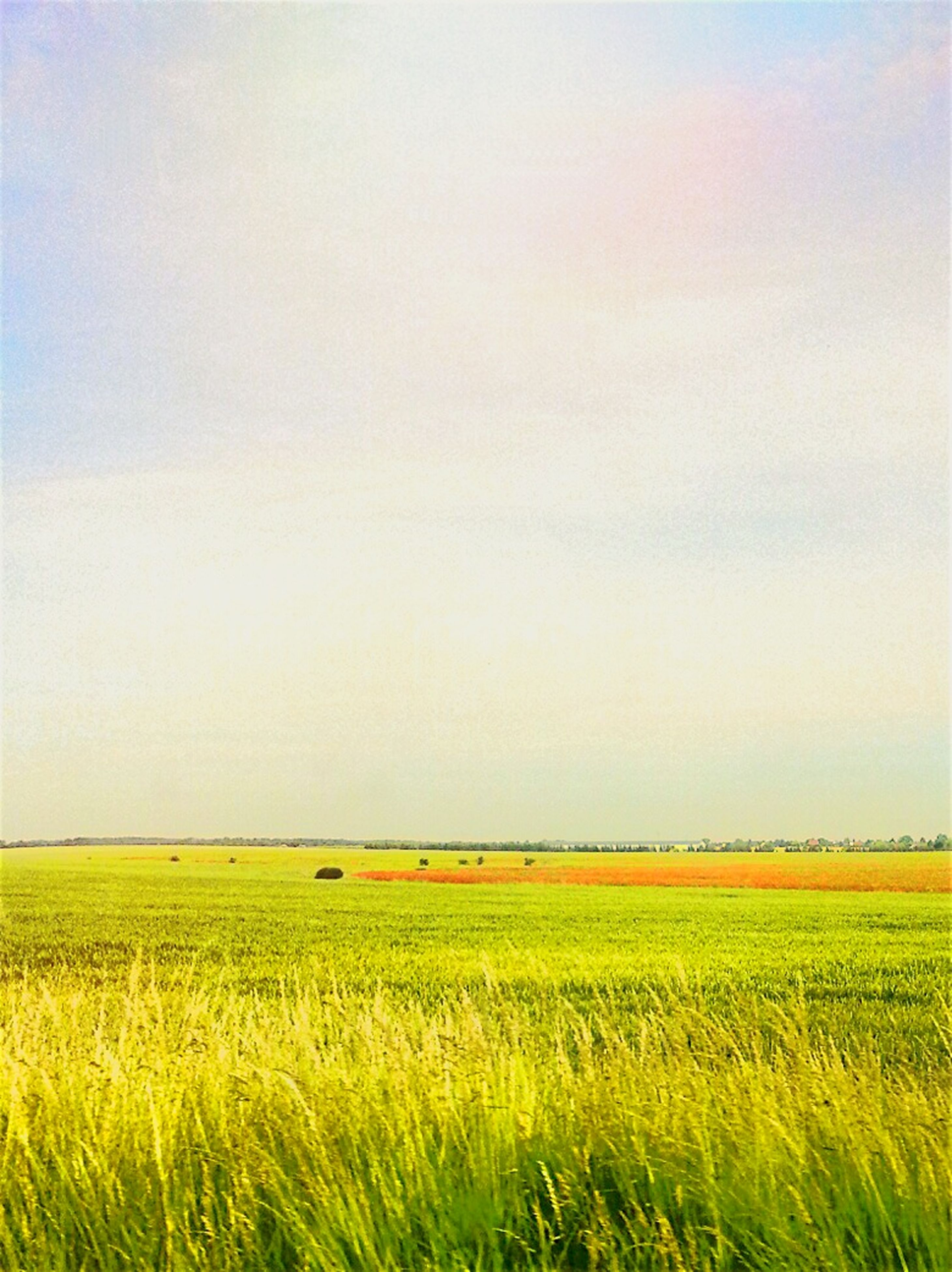 agriculture, field, rural scene, landscape, crop, farm, tranquil scene, growth, tranquility, beauty in nature, cultivated land, scenics, nature, yellow, copy space, grass, clear sky, sky, horizon over land, cereal plant