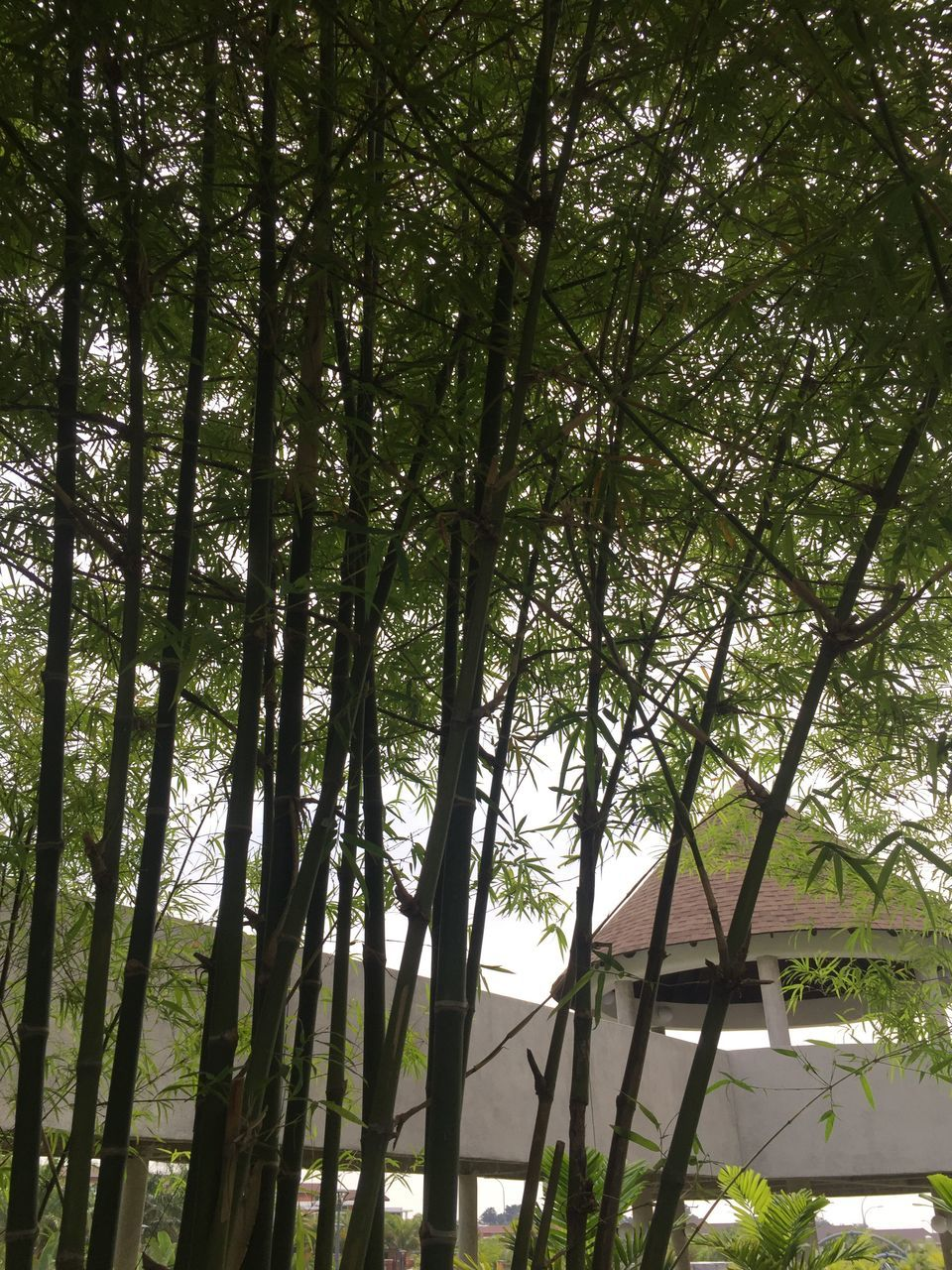 tree, nature, growth, tranquility, bamboo grove, bamboo - plant, low angle view, tranquil scene, forest, day, beauty in nature, no people, outdoors, tree trunk, green color, scenics, sky