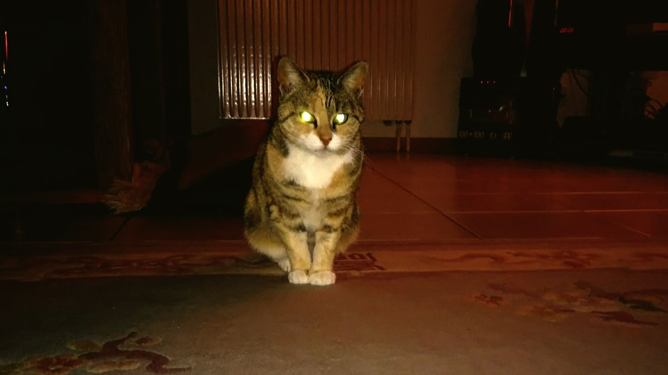 An E.T cat. Hypnotic No People Domestic Animals One Animal Eyeem Best Shot EyeEm Best Shots Feline Photography Taking Photos Cat