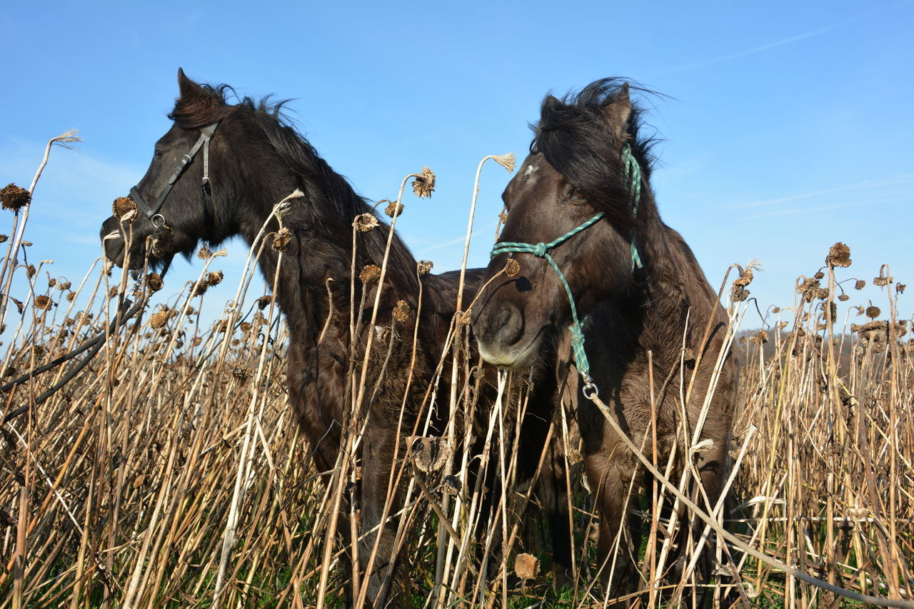 Close-Up Of Horses Amidst Dried Sunflowers Against Clear Sky