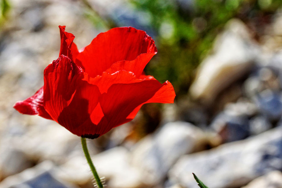 A close-up from a poppy flower Amapola Amapola Flower Botany Coquelicot Dormidera Flower Flower Head Fragility Klaproos Korenroos Pavot Poppy Poppy Flowers Red