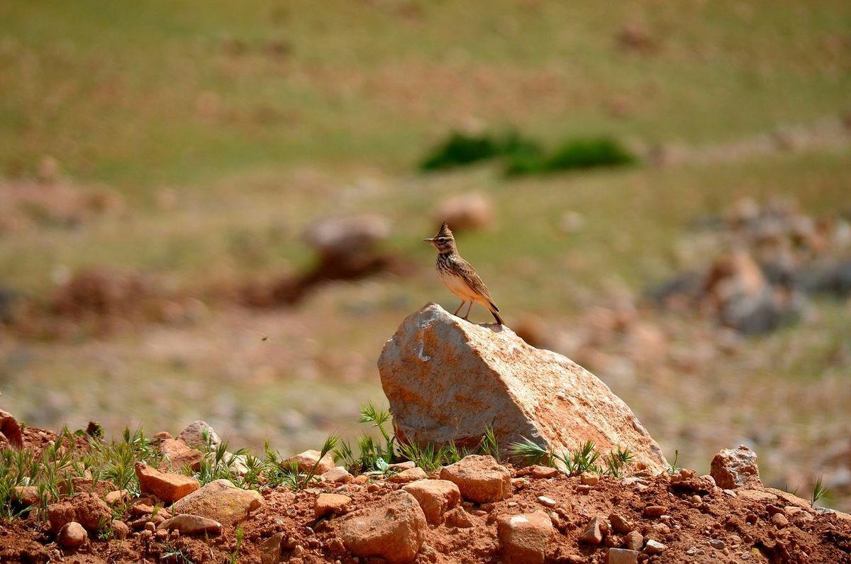 Great Morocco Louktou Bird Beauty Nature